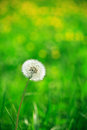 Alone Dandelion Royalty Free Stock Photo