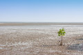 Alone mangrove tree grows in the ocean beach with blue sky background Royalty Free Stock Photo