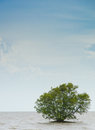Alone mangrove tree grows in the shallow water Royalty Free Stock Photography