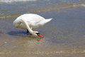 Alone swan on the beach try to drink sea water Royalty Free Stock Photo