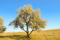 Alone tree on the field Royalty Free Stock Photo