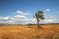 Alone tree in the field provence france harvested and Royalty Free Stock Images
