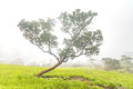Alone tree in the mist on grass field on morning Royalty Free Stock Photo