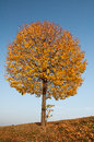 Alone yellow autumn tree Royalty Free Stock Images