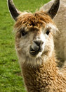 Alpaca Stock Photo