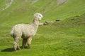 Alpaca At Altiplano