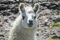 Alpaca Animal Portrait