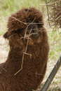 Alpaca brown eating hay Stock Photo