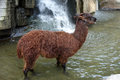 Alpaca a brown in the water Royalty Free Stock Image