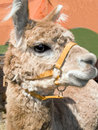 Alpaca camelid Royalty Free Stock Photography