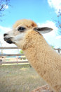 Alpaca closeup cute head in farm Stock Image
