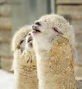Alpaca couple Royalty Free Stock Photo