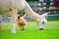 Alpaca an couple feeding on the lush grass Stock Photography