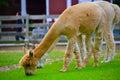 Alpaca an couple feeding n the lush grass Stock Images