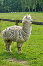 Alpaca in the farm of canon castle in normandie france Royalty Free Stock Photography