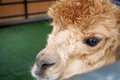 Alpaca head with brown messy hair and big eye Stock Photos