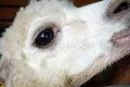 Alpaca head with white messy hair and big eye closed up of Royalty Free Stock Photography