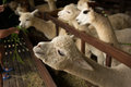 Alpaca herd of alpacas at the khao yai mountain area in thailand Stock Photo