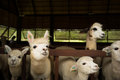 Alpaca herd of alpacas at the khao yai mountain area in thailand Stock Images