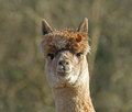 Alpaca with Leaf Royalty Free Stock Images