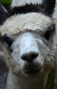 The alpaca llama domestic animal Stock Photography