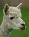 Alpaca / Llama Profile Royalty Free Stock Photography