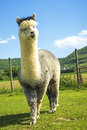 Alpaca looking curious white young Royalty Free Stock Photos