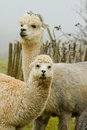 Alpaca mother and child Stock Photo