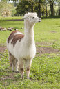 Alpaca in a paddock Royalty Free Stock Image