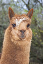 Alpaca portrait of a brown lama or vicugna pacos Stock Photos