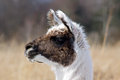Alpaca portrait close up of an vicugna pacos with grass field background Royalty Free Stock Image
