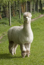 Alpaca on a rural farm Stock Photography