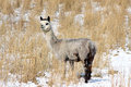 Alpaca in snow an vicugna pacos a covered grass field Royalty Free Stock Photos