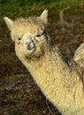 Alpaca, Terrestrial Animal, Llama, Camel Like Mammal