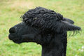 Alpaca wet closeup from a farm Stock Images