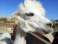 Alpaca white with beautiful eye on the farm Royalty Free Stock Photos
