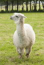 Alpaca white in a paddock Royalty Free Stock Photo