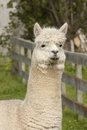 Alpaca white in a paddock Stock Photos