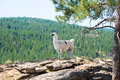 Alpaca an white stands on a rock outcrop with a blurred evergreen forest in background copy space Stock Images