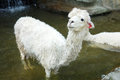 Alpaca a white in the water Stock Photos