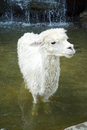 Alpaca a white in the water Royalty Free Stock Photography
