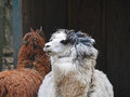 Alpacas in farmyard brown and white Royalty Free Stock Photo