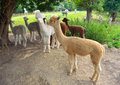 Alpacas grouped together under trees out in field Stock Photo