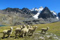 Alpacas herd in the snowcaped mountains Royalty Free Stock Photo