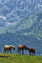 Alpe di siusi horses on seiser alm in dolomites italy Royalty Free Stock Photo