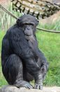 Alpha chimpanzee Royalty Free Stock Photo