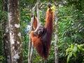 Alpha Male Borneo Orangutan at the Semenggoh Nature Reserve, Malaysia Royalty Free Stock Photo