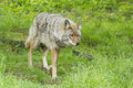 Alpha male coyote in spring Stock Photography
