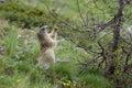Alpiene Marmot - Marmota Marmota Stock Foto