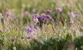 Alpine Aster Royalty Free Stock Photo